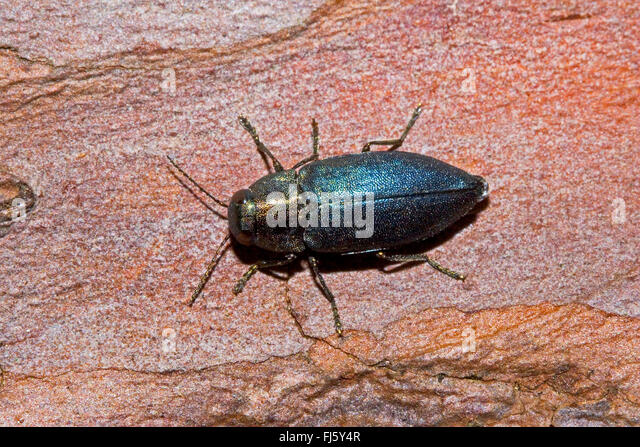 Buprestidae Stock Photos & Buprestidae Stock Images - Alamy