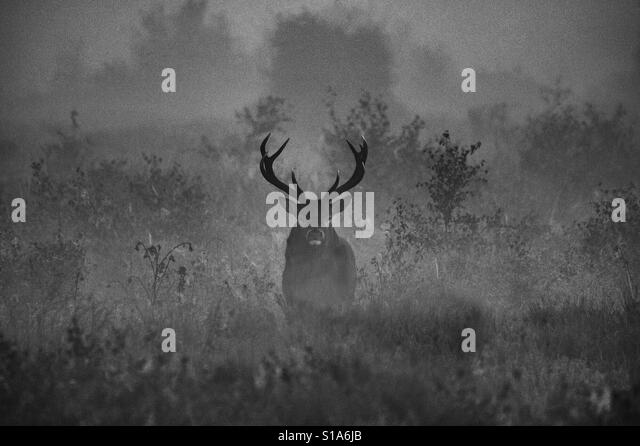 Stag on a misty morning - Stock-Bilder
