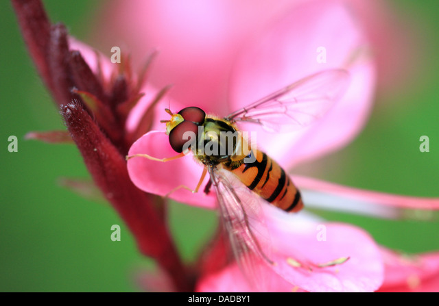 Marmalade hoverfly (Episyrphus balteatus), sitting on a pink flower, Germany - Stock-Bilder
