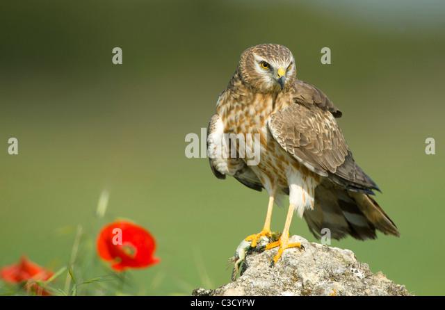 Montagus Harrier (Circus pygargus), adult female standing on a rock. - Stock-Bilder