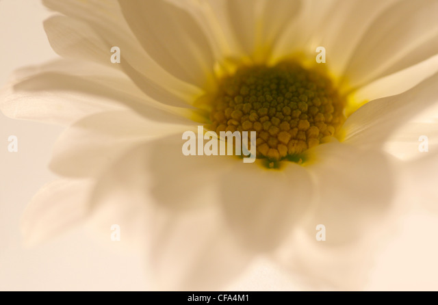 Studio shot of a daisy lit from below with shallow focus creating this delicate impression - Stock Image