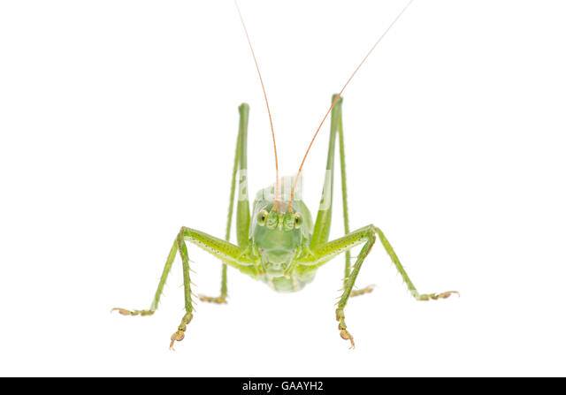 Great green bush-cricket (Tettigonia viridissima) female, The Netherlands, July. Meetyourneighbours.net project - Stock Image