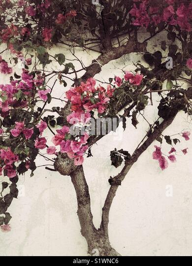Pink bougainvillea flowers tree - Stock Image