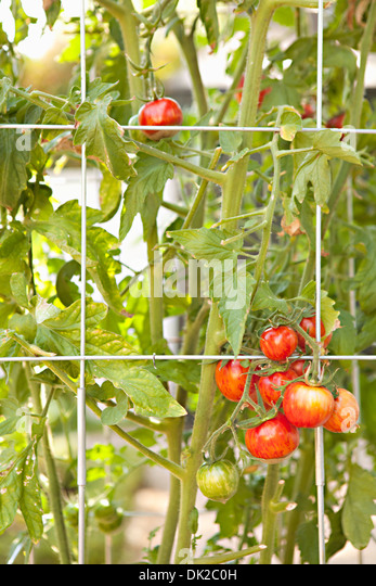 Organic tomatoes ripening on vine along fence - Stock Image
