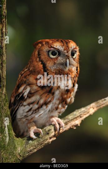 Eastern screech owl, Megascops asio, Florida, captive - Stock Image
