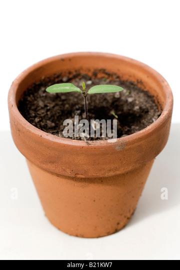 Tomato seedling in a terra-cotta pot - Stock Image