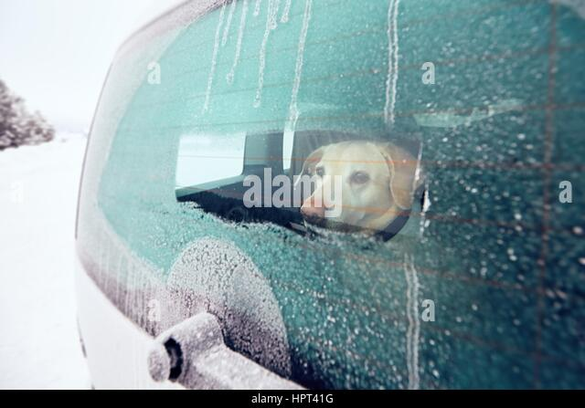 Traveling with dog. Yellow labrador retriever looking through window of the car in snowy nature. - Stock Image
