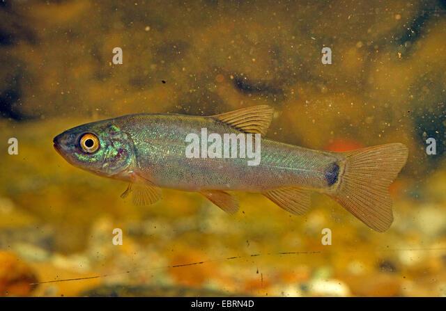 tench (Tinca tinca), juvenile colouration, Germany - Stock Image