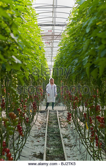 worker between tall rows of plants - Stock Image