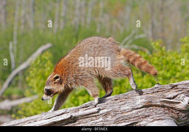 Raccoon (Procyon lotor) walking on a log. - Stock Image