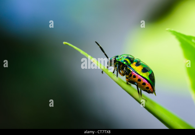 Jewel bug in the green nature - Stock Image