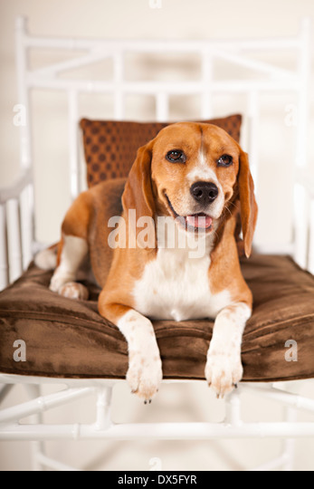 Beagle dog laying on chair, looking away - Stock Image