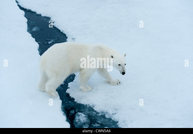Polar bear, Ursus maritimus, on sea ice north of Spitsbergen, Svalbard, Arctic - Stock Image