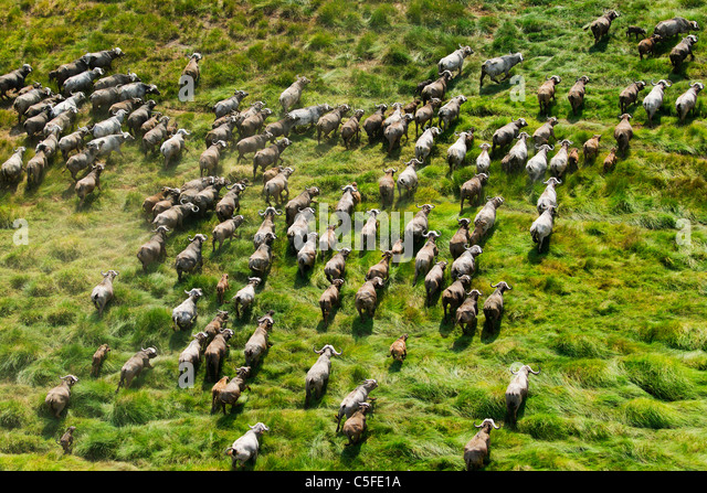 Aerial view of Cape Buffalo (Syncerus caffer) in Kenya. - Stock Image
