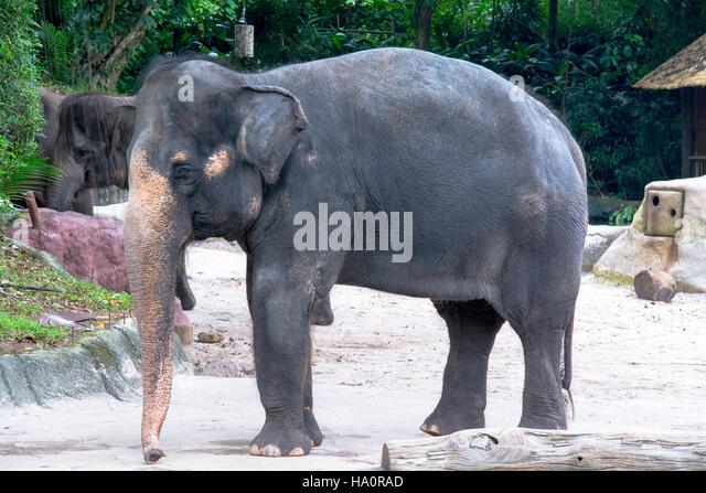 Elephants Standing At Zoo - Stock Image