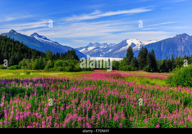 Mendenhall Glacier viewpoint with fireweed in bloom. Juneau, Alaska - Stock Image