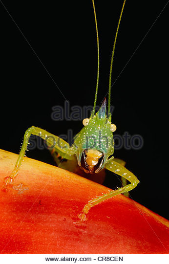 The katydid, a type of grasshopper found in the western hemisphere - Stock Image