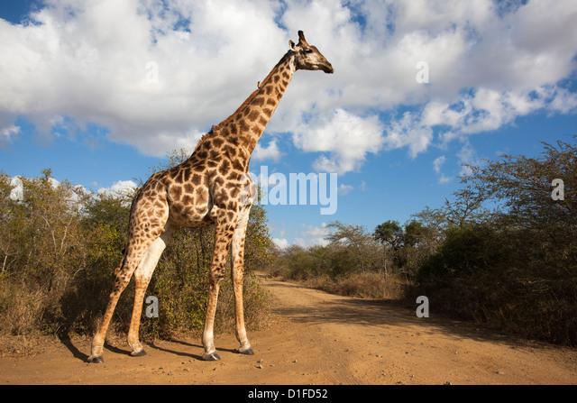 Giraffe (Giraffa camelopardalis), Imfolozi reserve, KwaZulu-Natal, South Africa, Africa - Stock Image