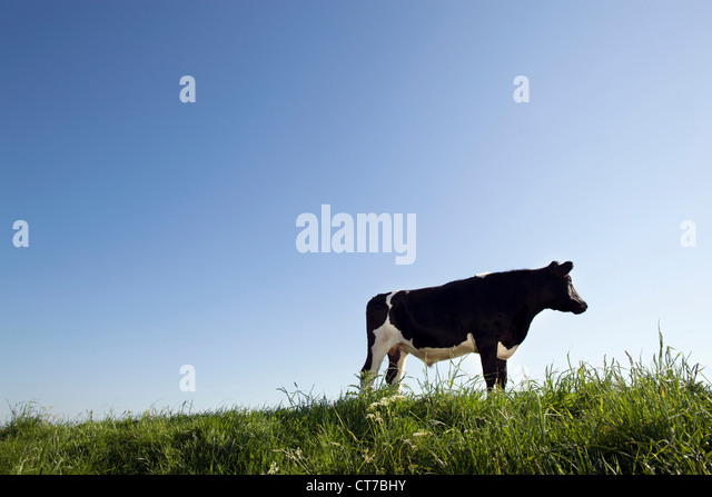 Cow against blue sky - Stock Image