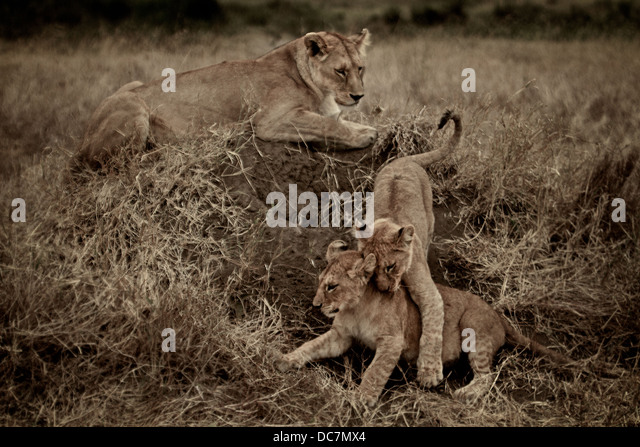 Female lion mother  watches her cubs fight . Serengeti . Tanzania Africa. - Stock-Bilder
