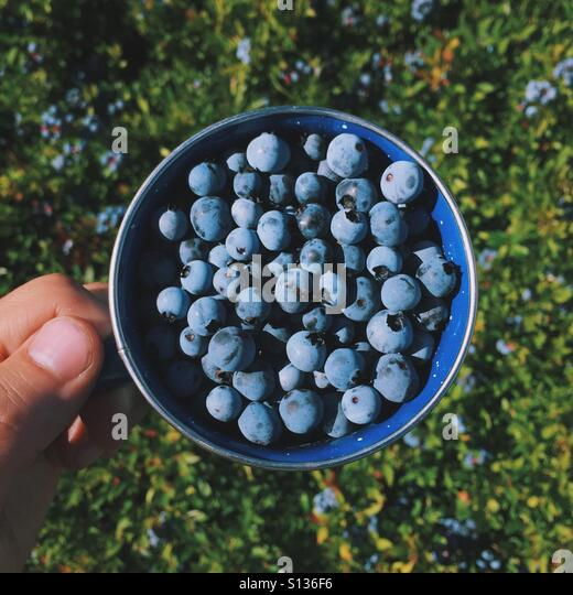 Wild Blueberry Picking in Maine - Stock Image