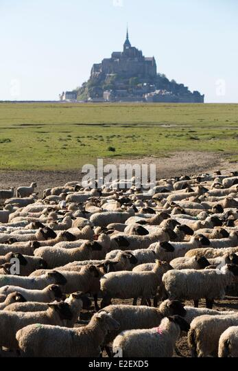 France Manche Mont Saint Michel bay listed as UNESCO World Heritage salted marshes sheep and Mont Saint Michel in - Stock Image