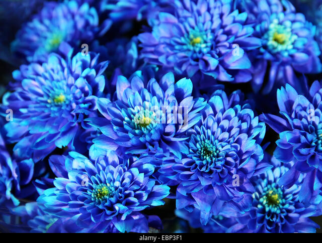 Bouquet Blue Autumn Chrysanthemum Stock Photos & Bouquet ...