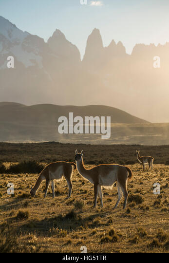 The Guanaco, Lama guanicoe, is a camelid native to the mountainous regions of South America. They are found in the - Stock-Bilder