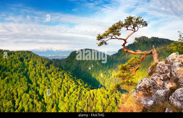Alone single Pine Tree at Pieniny National Mountains Park, Poland - Stock Image