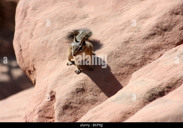 Chipmunk at Scout's Landing,near Angel's Landing, West Rim Trail, Zion - Stock Image