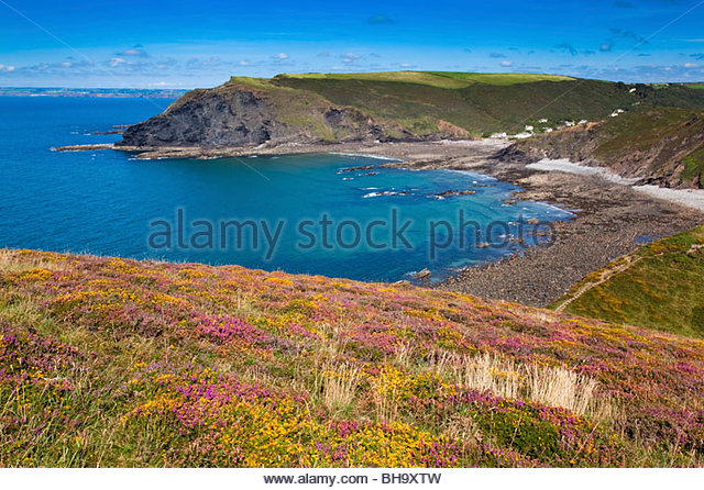 Crackington Haven; heather and gorse on the cliffs in summer; Cornwall - Stock Image