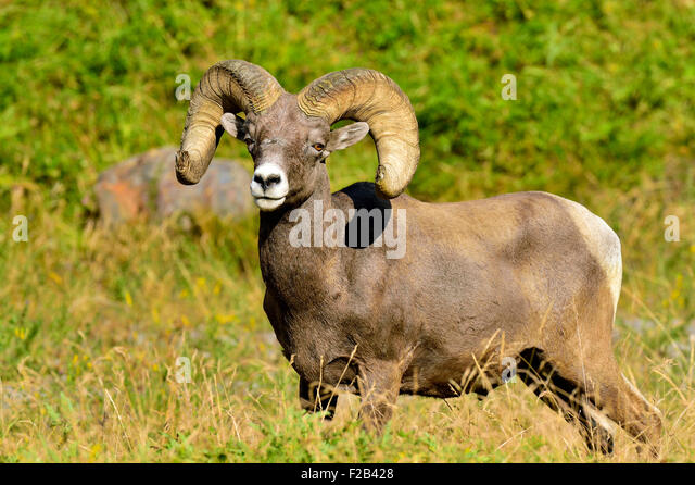 A close up image of a wild Bighorn ram Orvis canadensis; standing in the lush vegetation - Stock-Bilder