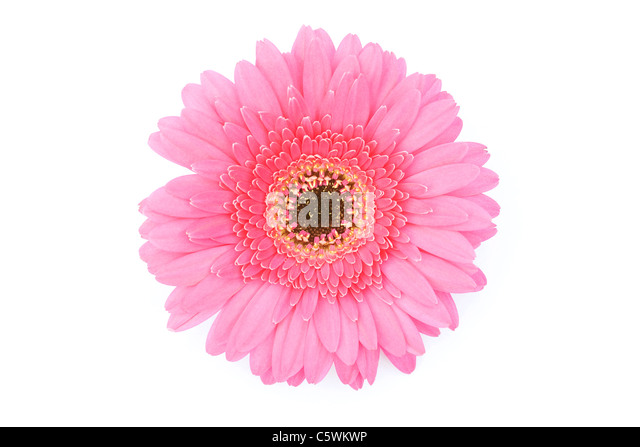 Pink Gerbera on white background. - Stock Image