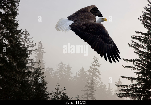 Bald Eagle soars through mist in the Tongass National Forest, Southeast Alaska, Winter, COMPOSITE - Stock Image