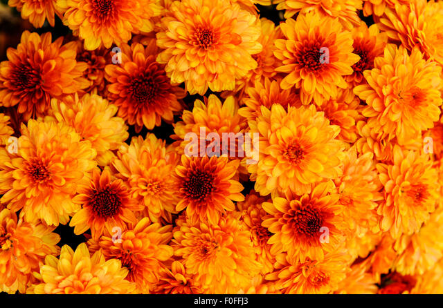 Mums Flower Stock Photos Mums Flower Stock Images Alamy
