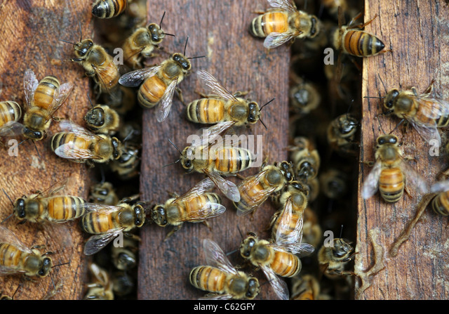 how honey bees do their job Honey bees are social creatures that which is left up to the queen bee in their first retrieved from.