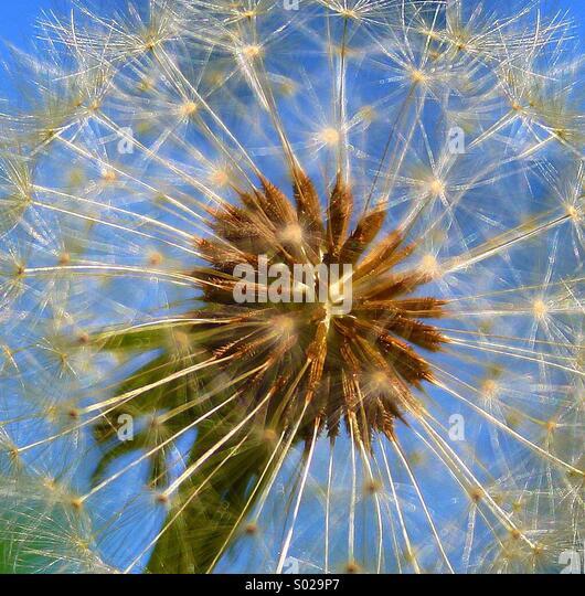 Dandelion macro close up - Stock Image