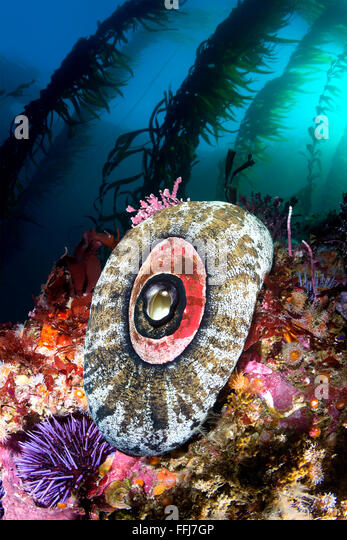 A California reef scene shows a keyhole limpet framed by beautiful kelp and a color reef. - Stock Image