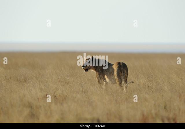 lion female (panthera leo), etosha, namibia - Stock Image