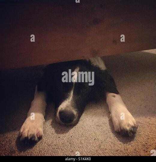 Puppy under the bed - Stock Image
