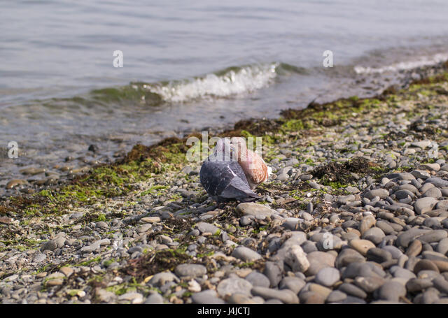Blue and brown pigeons kiss with their eyes closed on the seashore - Stock Image