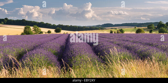 Lavender field in flower, Snowshill, Cotswolds, England. Summer (July) 2014. - Stock Image