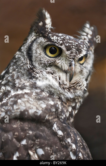 A spotted Eagle-Owl, a heavily-built owl with prominent ear tufts. - Stock Image