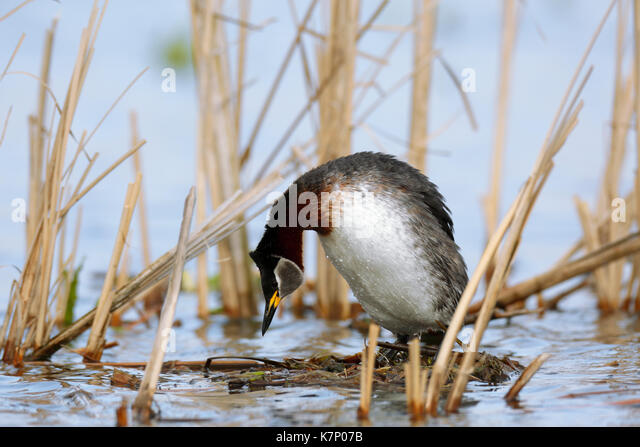 Red-necked grebe (Podiceps grisegena), female mating call, nature river area Peene Valley, Mecklenburg-Western Pomerania - Stock Image