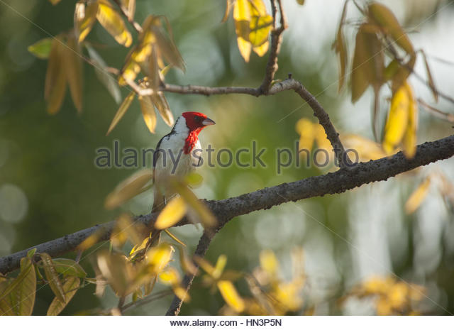 A Red-cowled cardinal, Paroaria dominicana, perching on a tree in Sao Paulo's Ibirapuera Park. - Stock-Bilder
