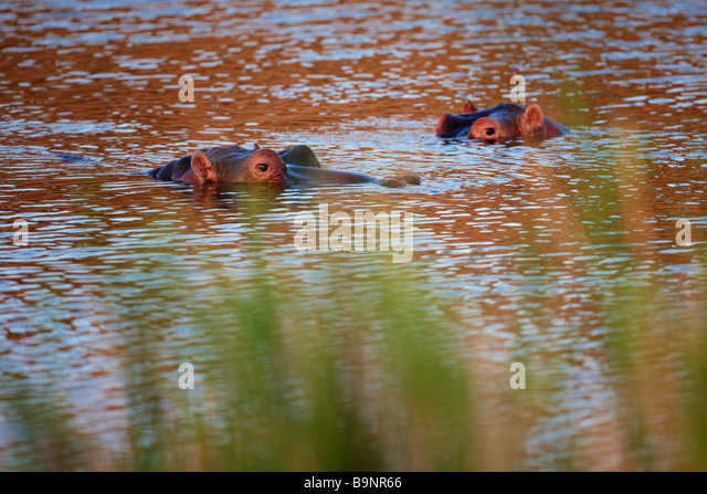 two wary hippopotamus in a river, Kruger National Park, South Africa - Stock-Bilder