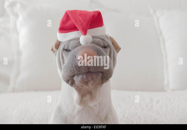 Portrait of shar-pei dog wearing christmas hat - Stock Image