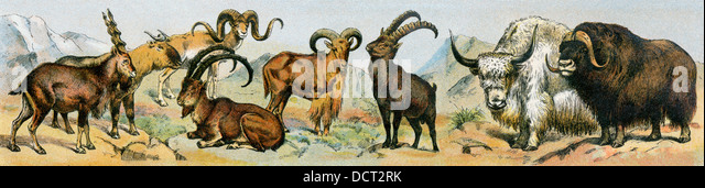 Types of wild goats, 19th century. - Stock-Bilder