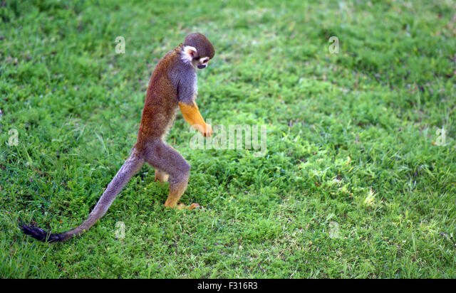 Funny saimiri monkey searching for something on the ground - Stock Image
