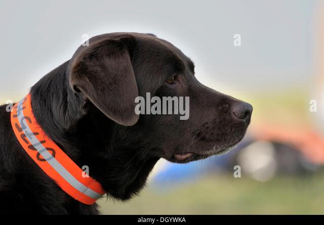 Brown Labrador Retriever observing something, portrait - Stock Image